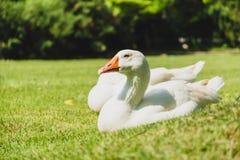 White goose bird Royalty Free Stock Photos