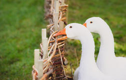 White goose biting a fence royalty free stock photo