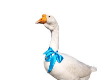 White goose with a blue bow Royalty Free Stock Photos
