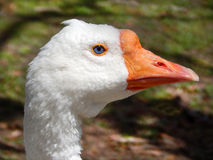 White goose with blue eye Royalty Free Stock Images