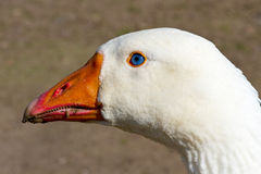 White Goose With Blue Eyes Royalty Free Stock Photos