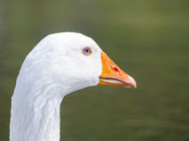 White Goose with blue eyes Royalty Free Stock Images