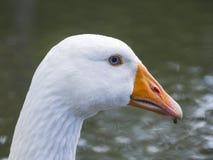 White Goose with blue eyes Stock Photo