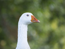 White Goose with blue eyes Royalty Free Stock Photos