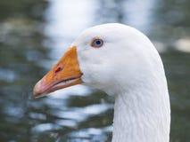 White Goose with blue eyes Stock Image