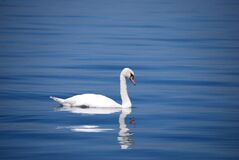 White Goose on Body of Water Royalty Free Stock Images