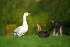 White goose, chicken and cow on meadow stock photos