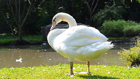 White goose cleaning feathers Royalty Free Stock Images