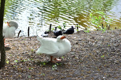 White goose cleaning his feathers Stock Photos