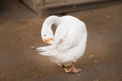White goose cleaning itself. Domestic bird. Farm Stock Images