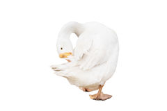 White goose cleaning itself. Isolated on white background Royalty Free Stock Photos