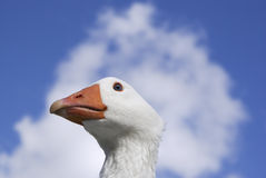 White goose close up against sky Royalty Free Stock Images
