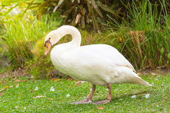White goose. Close up of beautiful white goose walking on the ground in garden stock photo