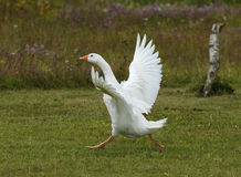 White Goose. Close up of a White Goose dancing royalty free stock photo