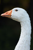 White goose Royalty Free Stock Photo