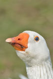 White Goose Head Royalty Free Stock Photos