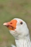 White Goose Head Royalty Free Stock Photos