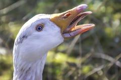 White goose close up,natural sunlight,uk. White goose with open beak and blue eyes,close up portrait.Stuning british wildlife,nature uk,wildlife uk.Natural royalty free stock photos