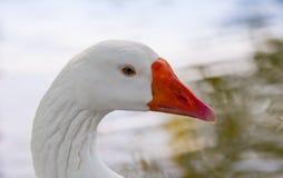 White goose close-up profile portrait. White goose close up profile portrait royalty free stock image