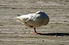 White Goose on the Dock. At Well Mills Park in Waretown, New Jersey stock photo