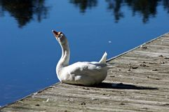 White Goose on the Dock. At Well Mills Park in Waretown, New Jersey royalty free stock photo