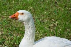 White goose. Domestic white goose portrait at the farm stock photos