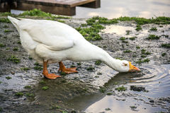 White Goose drinks wate Royalty Free Stock Photo