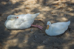 White goose and duck on a sandy beach Stock Photos