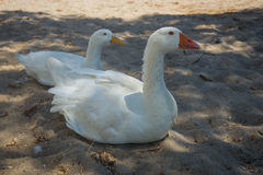 White goose and duck on a sandy beach Royalty Free Stock Images