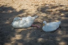 White goose and duck on a sandy beach Royalty Free Stock Photo