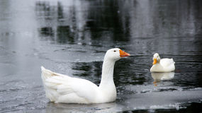 White goose and duck swimming together Royalty Free Stock Image