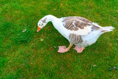 A white goose is eating grass on a green field. A white goose with blue eyes in a field royalty free stock images