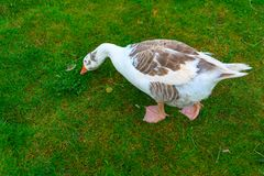 A white goose is eating grass on a green field. A white goose with blue eyes in a field royalty free stock photos