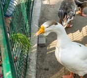 White goose eating green grass. From the arm of people through the cell in the Novosibirsk zoo royalty free stock images