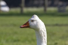 White goose, Emden goose, with orange beak and hump on the head royalty free stock images