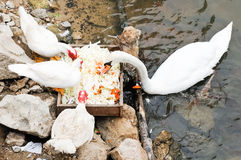 White goose family. Are eating in the lake of farm stock photo