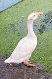 White goose in farm. Close up white goose in farm stock photos