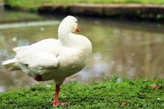 White goose. On farm doing pose royalty free stock image