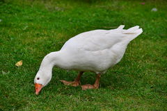 White goose on a farm. White goose eating on a farmyard royalty free stock photos