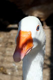 A white goose in the farm, in the nature. A white goose in the farm, looking at the camera stock images