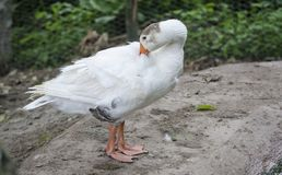 White goose at the farm. Portrait of a white goose relaxing on farm backyard royalty free stock image