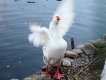 White goose. Flaps its wings Stock Photos