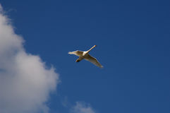 White goose in flight. Flying white goose contrasting with blue skye Stock Photo