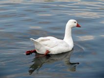 White goose floating in the lake. Royalty Free Stock Image