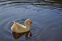 White Goose. Floating on the water in Selva Negra, Nicaragua royalty free stock photos