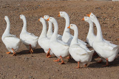 White goose Royalty Free Stock Photos