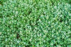 White goose-foot plant. White goose-foot Chenopodium album plant stock images