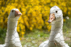 White Goose and Gander looking out through a chain link fence wi stock images
