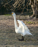 A white goose Royalty Free Stock Image