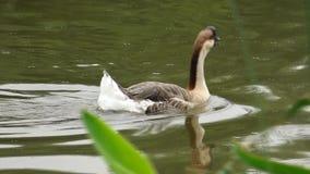 A white goose stock footage